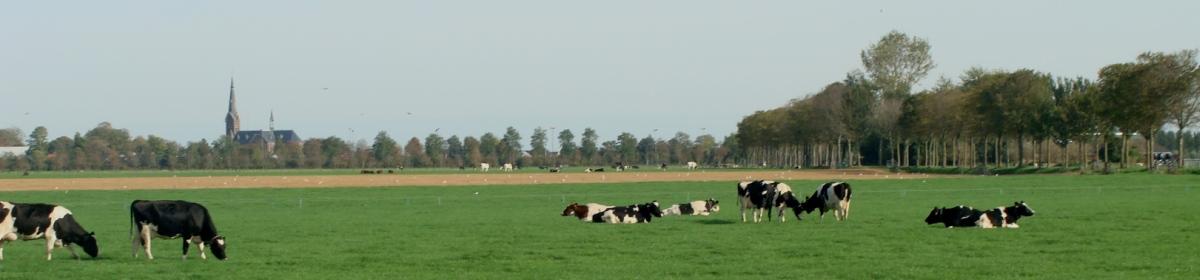 Co Schipper - Koeien in Westfries landschap