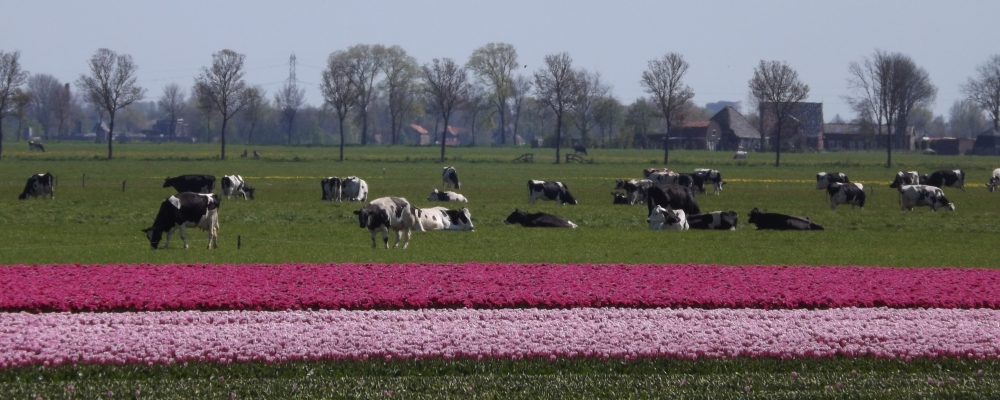 Tulpenveld Spanbroek